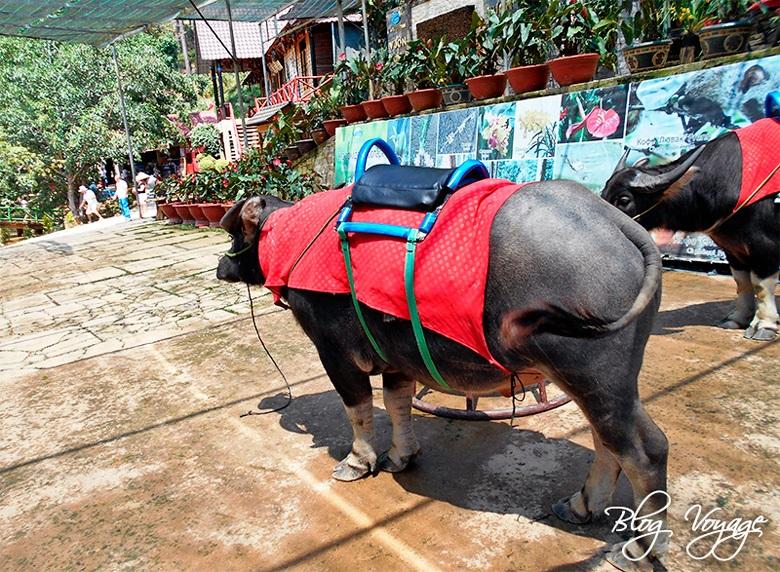 Катание на буйволе в зоопарке Далата